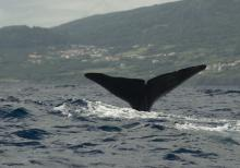 Whale Tail, Pico Azores